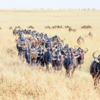 The annual Great Migration of wildebeest and other grazing herbivores across the Serengeti-Mara ecosystem is one of the greatest spectacles in the natural world. About 200 000 zebra and 500 000 Thomson's gazelle ...and one-and-a-half million wildebeest partake to this journey !