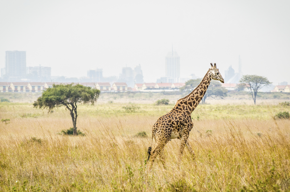 "A giraffe runs through the bush in Nairobi National Park. The city of Nairobi, Kenya is clearly visible in the background. This clearly demonstrates, how close the ""wilds"" of Africa are to even its most urban inhabitants."