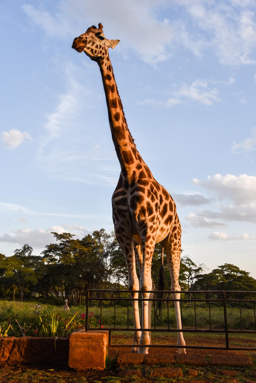 hotel-review-giraffe-manor_-122