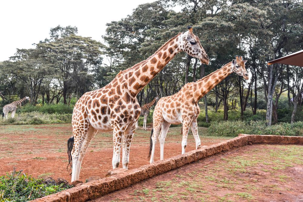 hotel-review-giraffe-manor_-2