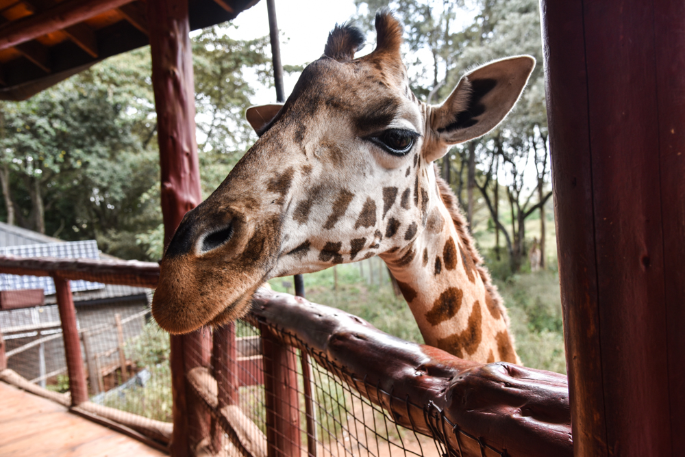 hotel-review-giraffe-manor_-49