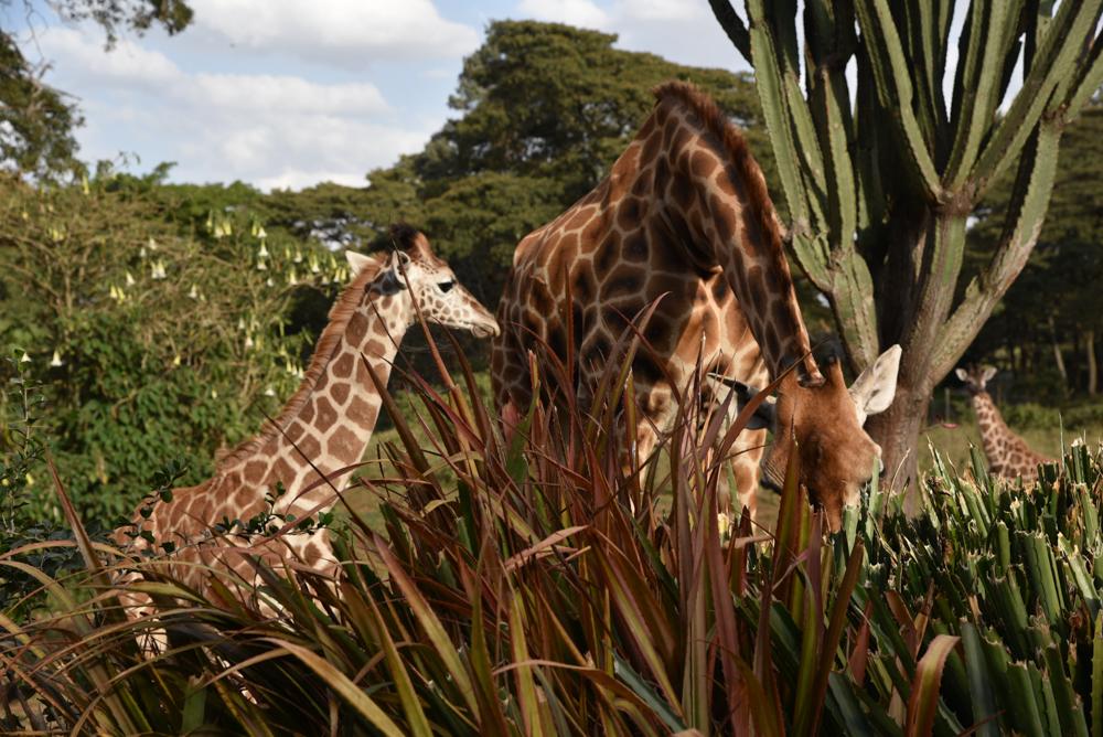 hotel-review-giraffe-manor_-75