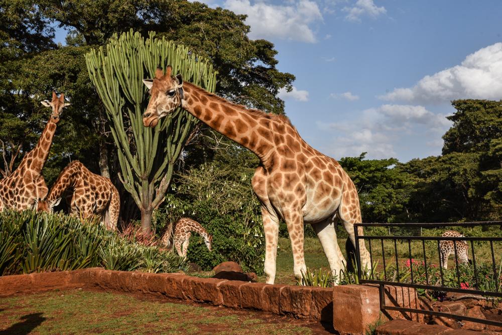 hotel-review-giraffe-manor_-76
