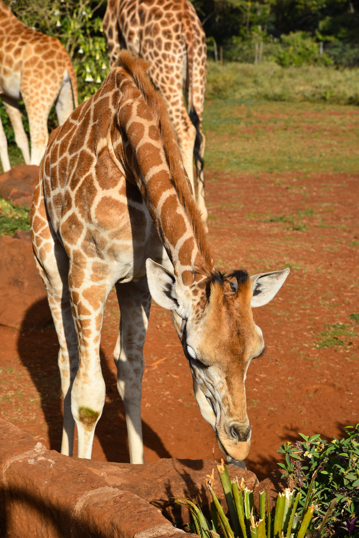 hotel-review-giraffe-manor_-78