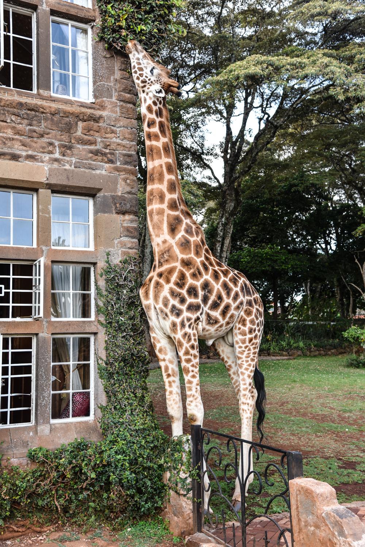 hotel-review-giraffe-manor_-88