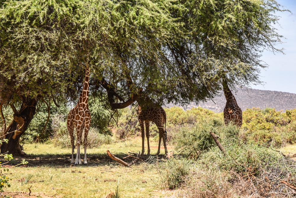 luxury-hotel-review-sasaab-samburu-89